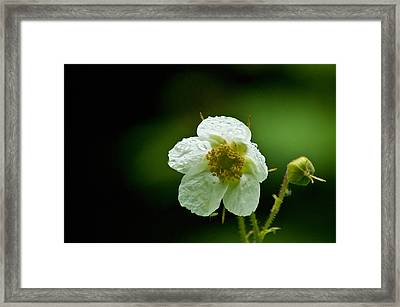 Thimbleberry Flower Framed Print by R J Ruppenthal