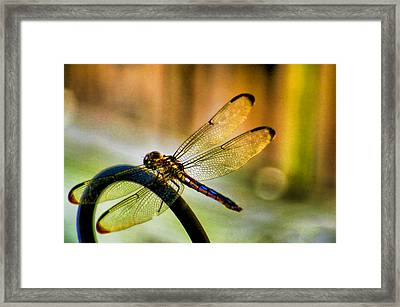 Iridescent Wings  Framed Print by Olahs Photography