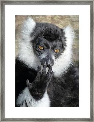 Thinking Black And White Ruffed Lemur Framed Print by Margaret Saheed