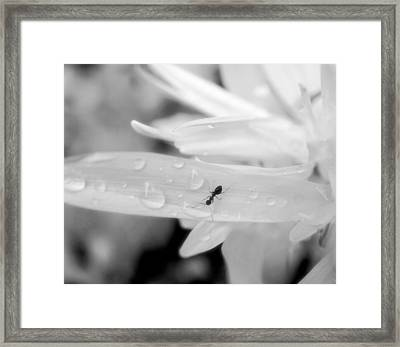 Thirsty Ant On White Flower Black And White Framed Print by Lilia D