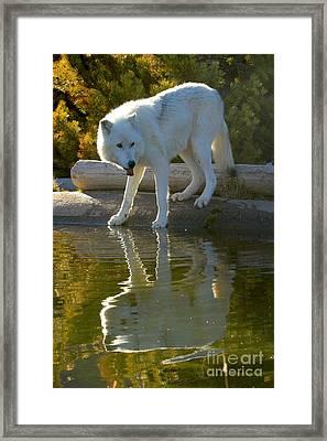 Thirsty Wolf Framed Print