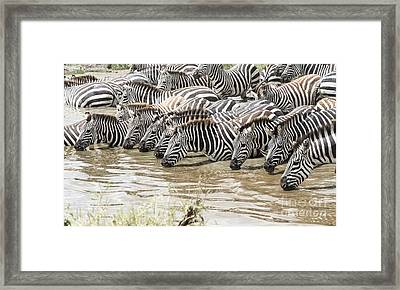 Thirsty Zebras Framed Print