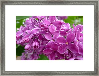 This Lilac Has Flowers With A White Edging. 5 Framed Print