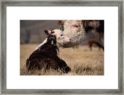 This Young Hereford Was Born Framed Print