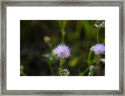 Thistles Morning Dew Framed Print