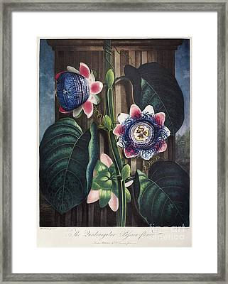 Thornton: Passion-flower Framed Print