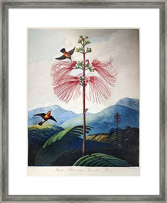 Thornton: Sensitive Plant Framed Print by Granger