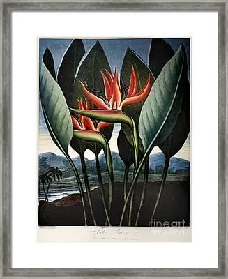 Thornton: Strelitzia Framed Print by Granger