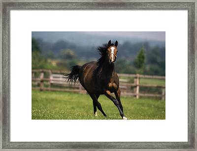 Thoroughbred Horses, Yearlings Framed Print by The Irish Image Collection