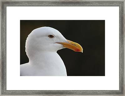 Thoughtful Gull Framed Print