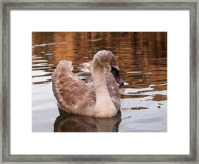 Thoughtful - Juvenile Mute Swan Framed Print