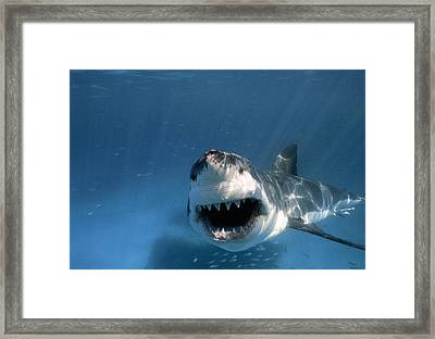 Threatened Great White Shark, Toothy Framed Print