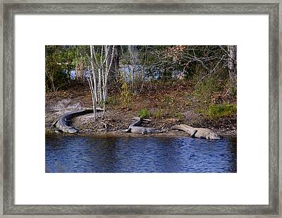 Three Alligators Framed Print by Bruce W Krucke