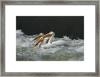 Three American Pelicans Framed Print by Jeff Swan