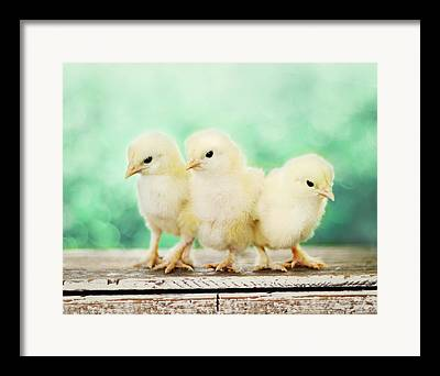 Three Chicks Framed Prints