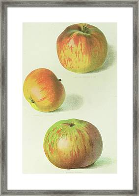 Three Apples Framed Print