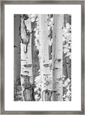 Three Aspens In Black And White  Framed Print by James BO  Insogna