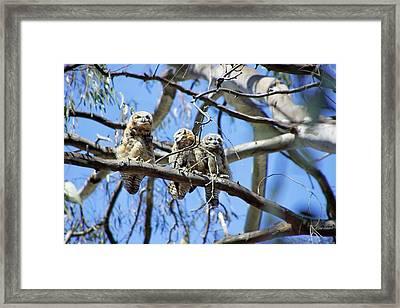 Three Baby Owls Framed Print