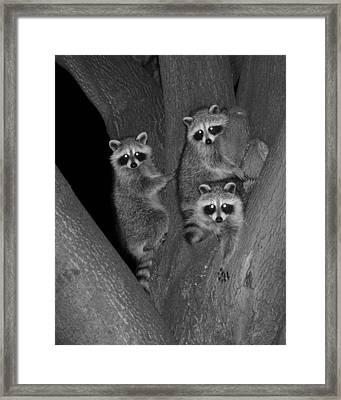 Three Baby Raccoons Framed Print