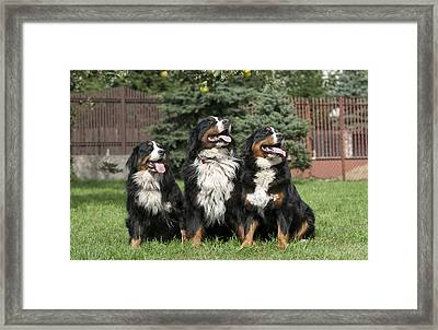 Three Bernese Mountain Dog Portrait Framed Print by Waldek Dabrowski