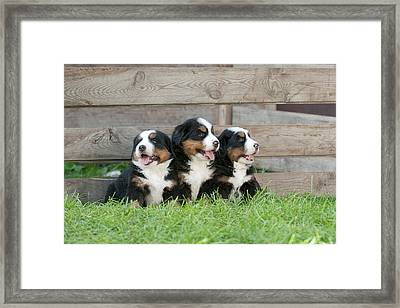 Three Bernese Mountain Dog Puppies Portrait Framed Print by Waldek Dabrowski