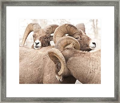 Three Bighorn Rams Framed Print