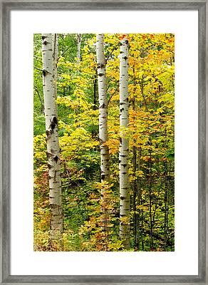 Three Birch Framed Print