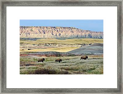 Three Bison Bulls Framed Print