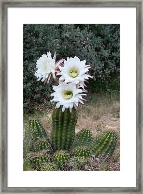 Three Blossoms Framed Print