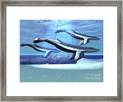 Three Blue Whales Move Framed Print by Corey Ford