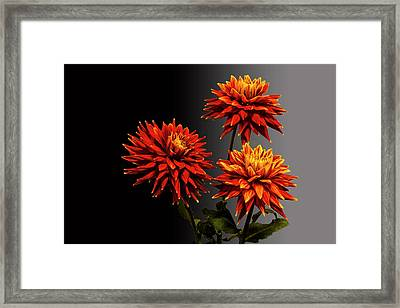 Three Bright Dahlia Flowers Framed Print