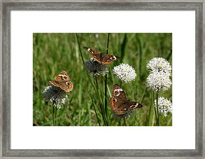 Three Buckeye Butterflies On Wildflowers Framed Print by Sheila Brown