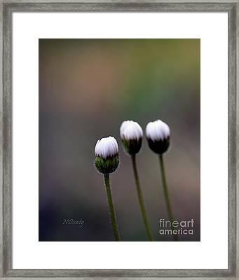 Three Buds Sprawling Daisy Framed Print
