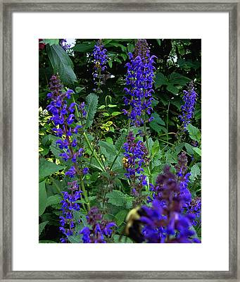Three Bumble Bees And Dephiniums Framed Print by Martin Morehead