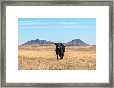 Three Buttes Steer Framed Print by Todd Klassy