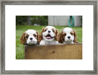 Three Cocker Spaniels Peeking Framed Print by Gillham Studios