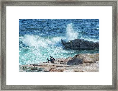 Three Cormorants At Monument Cove, Acadia National Park Framed Print