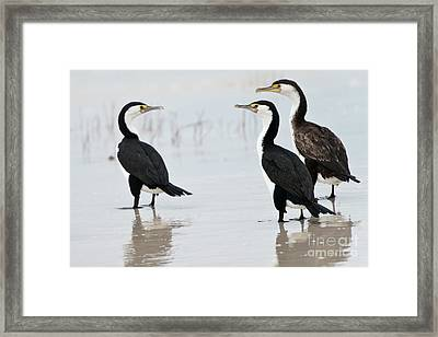 Framed Print featuring the photograph Three Cormorants by Werner Padarin