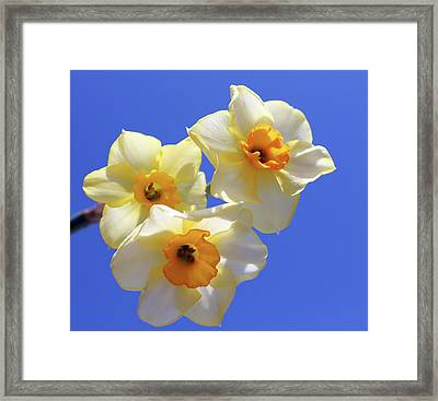 Framed Print featuring the photograph Three Daffodils by Judy Vincent