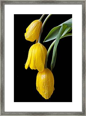 Three Drooping Tulips Framed Print by Garry Gay
