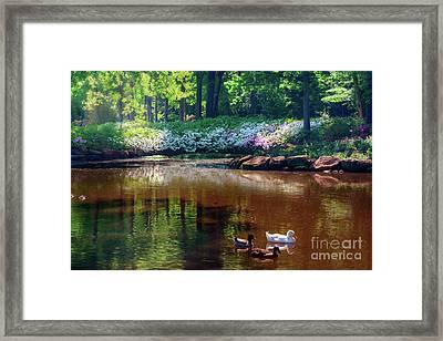 Three Ducks At The Azalea Pond Framed Print by Tamyra Ayles