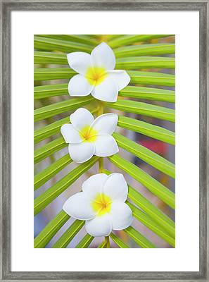 Three Frangipanis Framed Print by Laura Leyshon