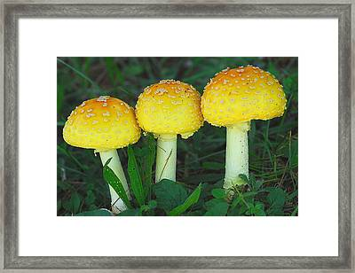 Three Fungiteers Framed Print