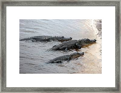 Three Gators On Riverbank Framed Print by Carol Groenen