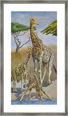 Three Giraffes Framed Print