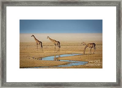 Three Giraffes Framed Print