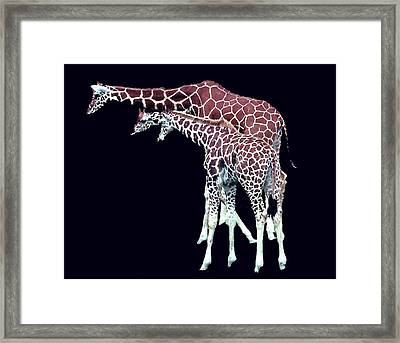 Three Giraffes Framed Print by Merton Allen