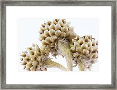 Three Globe Cornflower Seed Heads - Macro Framed Print by Sandra Foster