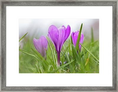 Three Glorious Spring Crocuses Framed Print