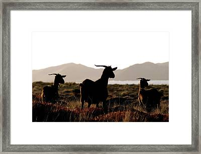 Three Goats Framed Print
